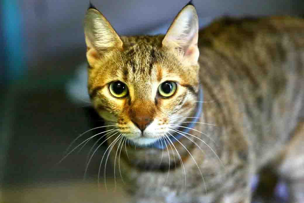 לילך חתולה לאימוץ אגודת צער בעלי חיים בישראל