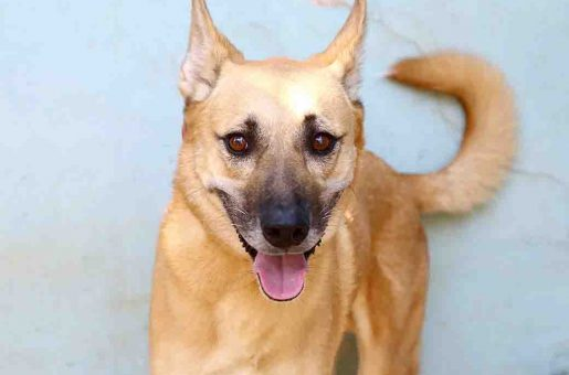 אשיל כלב לאימוץ אגודת צער בעלי חיים בישראל