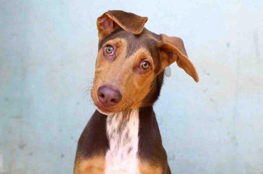 לורד כלב לאימוץ אגודת צער בעלי חיים בישראל
