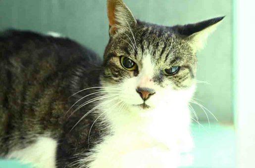 פיצי חתולה לאימוץ אגודת צער בעלי חיים בישראל