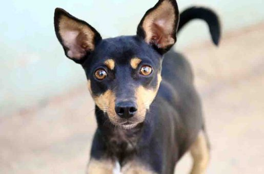 קוקו כלב לאימוץ אגודת צער בעלי חיים בישראל