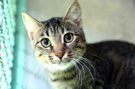 מגיק חתולה לאימוץ אגודת צער בעלי חיים בישראל