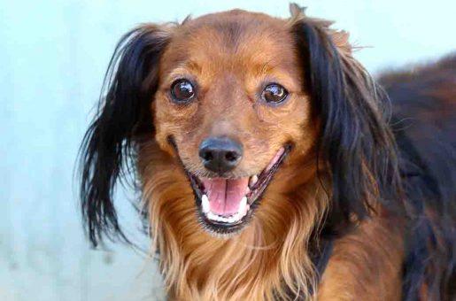 טופיפי כלבה לאימוץ אגודת צער בעלי חיים בישראל