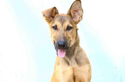 ג'וי כלב לאימוץ אגודת צער בעלי חיים בישראל