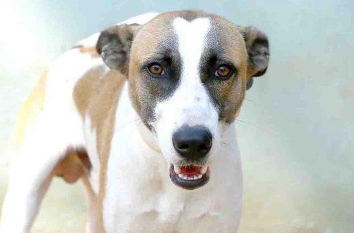 צ'ו כלב לאימוץ אגודת צער בעלי חיים בישראל