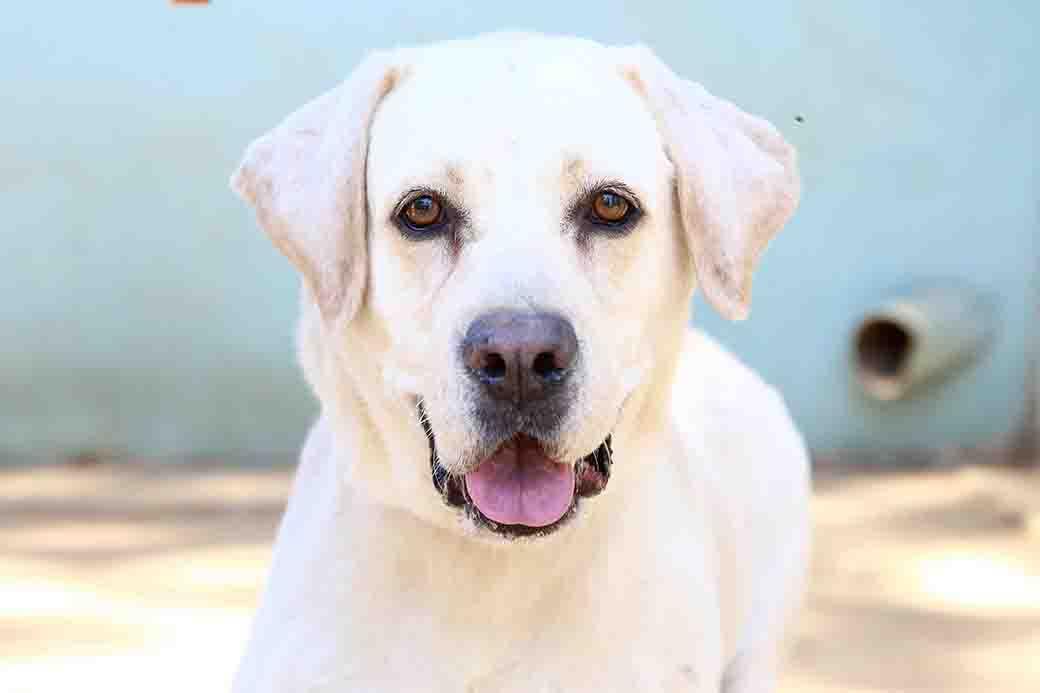 ג'ספר כלב לאימוץ אגודת צער בעלי חיים בישראל