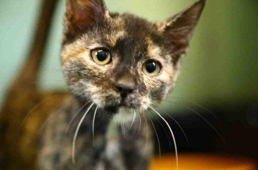 פיץ חתולה לאימוץ אגודת צער בעלי חיים בישראל