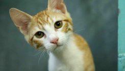רענן - חתול לאימוץ - אגודת צער בעלי חיים בישראל