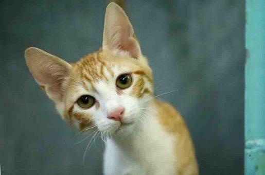 רענן חתול לאימוץ אגודת צער בעלי חיים בישראל