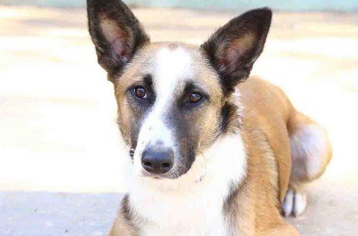 לביא כלב לאימוץ אגודת צער בעלי חיים בישראל