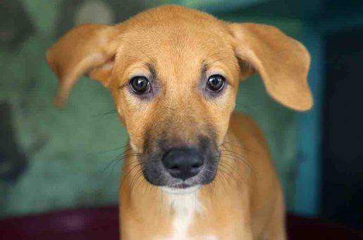 בונבון כלב לאימוץ אגודת צער בעלי חיים בישראל