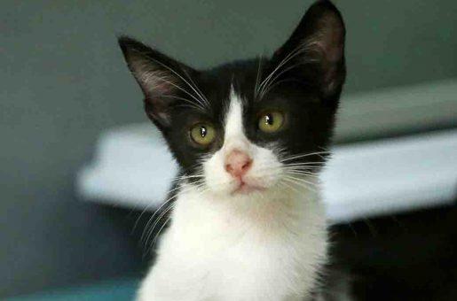 סוזנה חתולה לאימוץ אגודת צער בעלי חיים בישראל