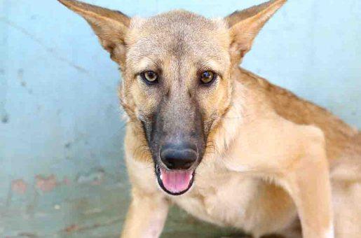 פינוקיו כלבה לאימוץ אגודת צער בעלי חיים בישראל