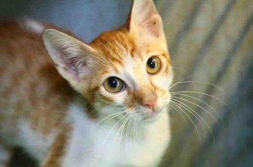 רוני חתול לאימוץ אגודת צער בעלי חיים בישראל
