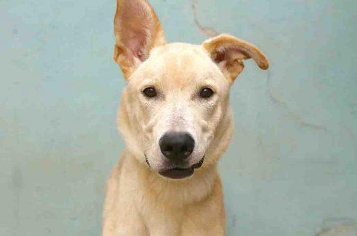 ג'ונה כלב לאימוץ אגודת צער בעלי חיים בישראל