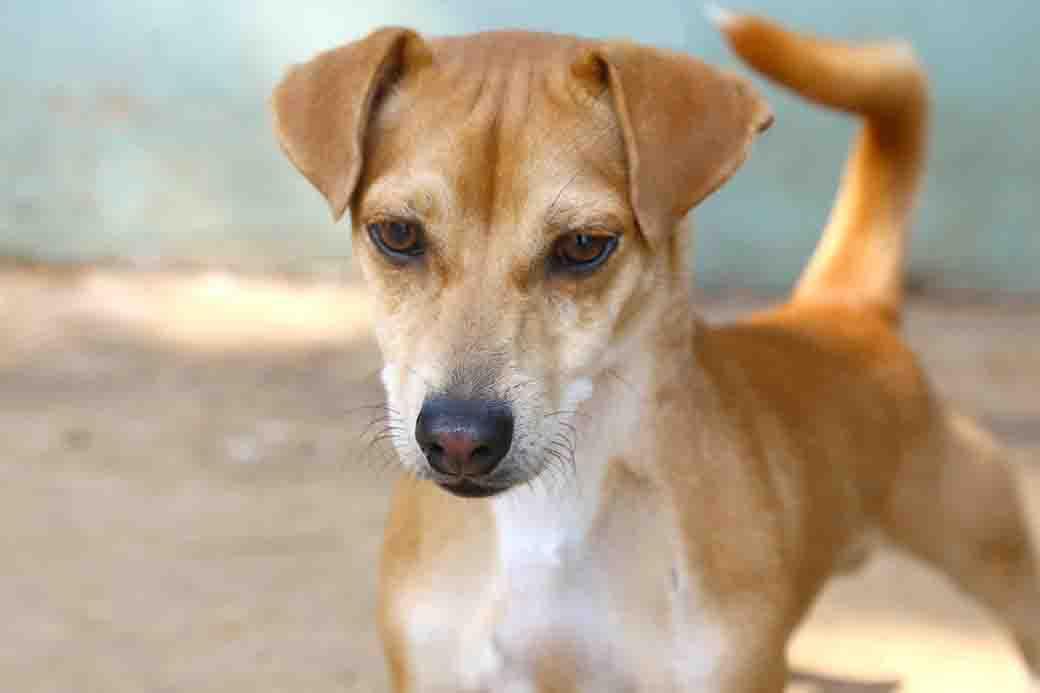 שוש כלב לאימוץ אגודת צער בעלי חיים בישראל