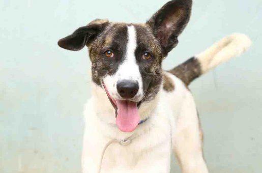 גוטי כלב לאימוץ אגודת צער בעלי חיים בישראל