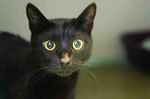 מקסון חתול לאימוץ אגודת צער בעלי חיים בישראל
