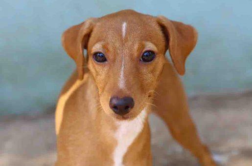 מיקה כלבה לאימוץ אגודת צער בעלי חיים בישראל