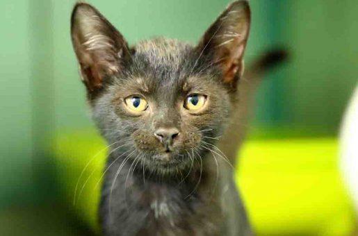 בני חתול לאימוץ אגודת צער בעלי חיים בישראל
