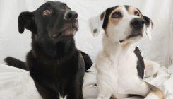 גידול שני כלבים - אגודת צער בעלי חיים בישראל