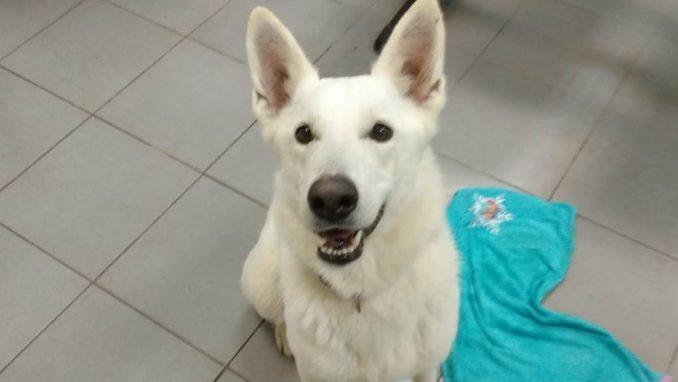 לבנה - כלבה לאימוץ - אגודת צער בעלי חיים בישראל