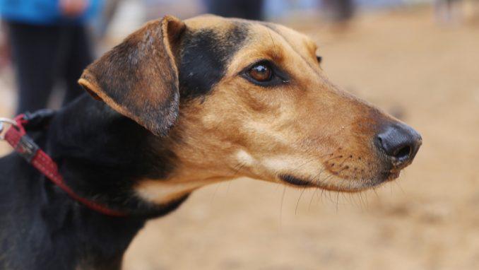 רוזיטה - כלבה לאימוץ - אגודת צער בעלי חיים בישראל