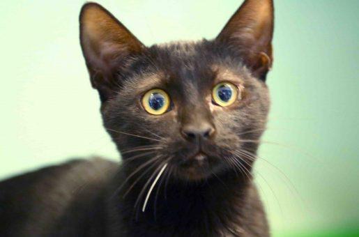 פזית חתולה לאימוץ אגודת צער בעלי חיים בישראל