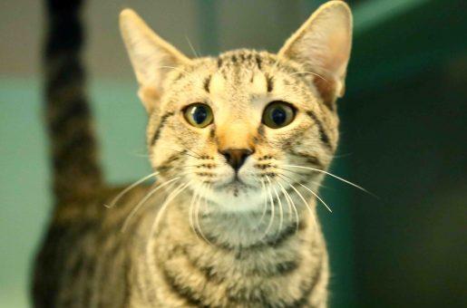 ספנסר חתול לאימוץ אגודת צער בעלי חיים בישראל
