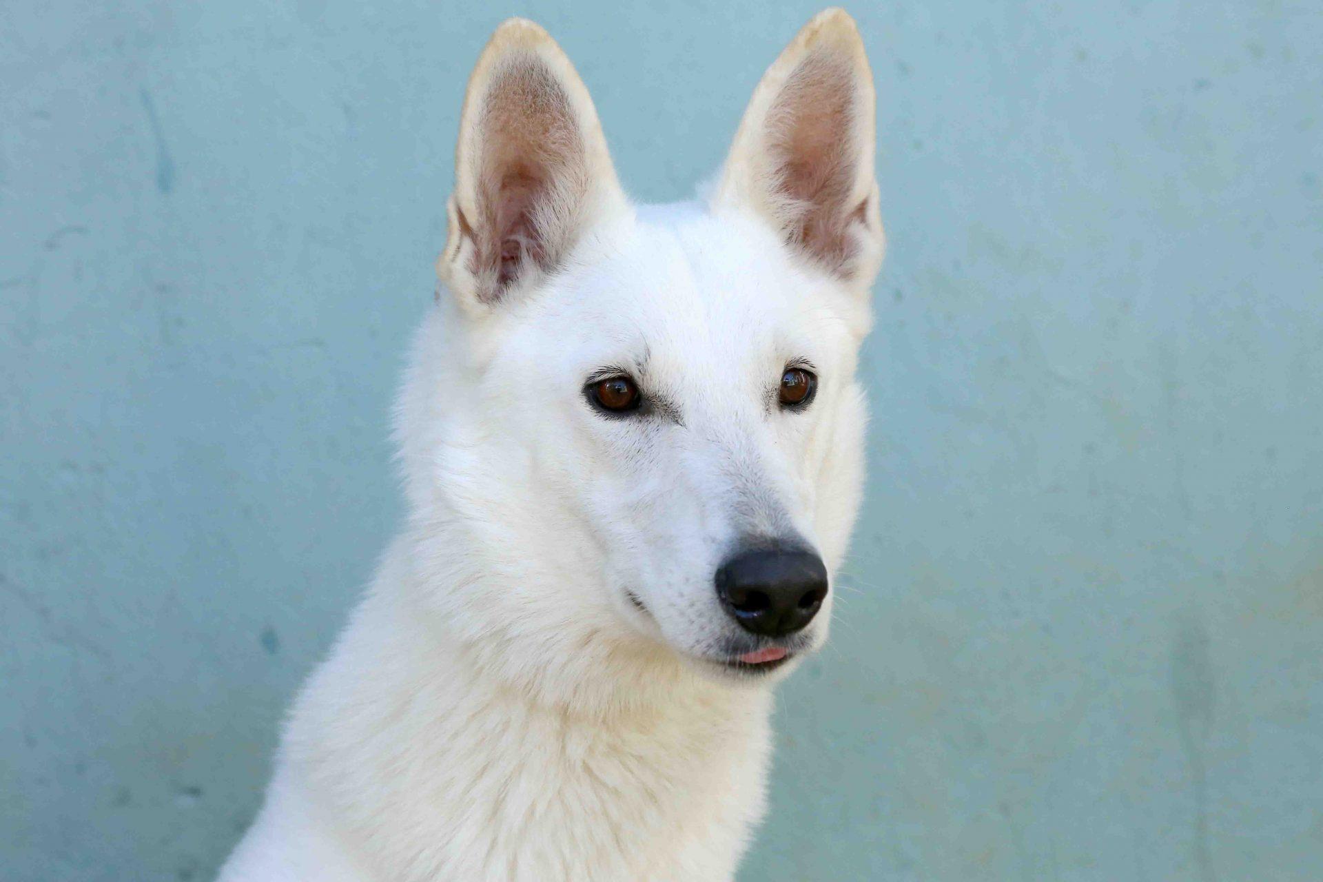 לבנה כלבה לאימוץ אגודת צער בעלי חיים בישראל