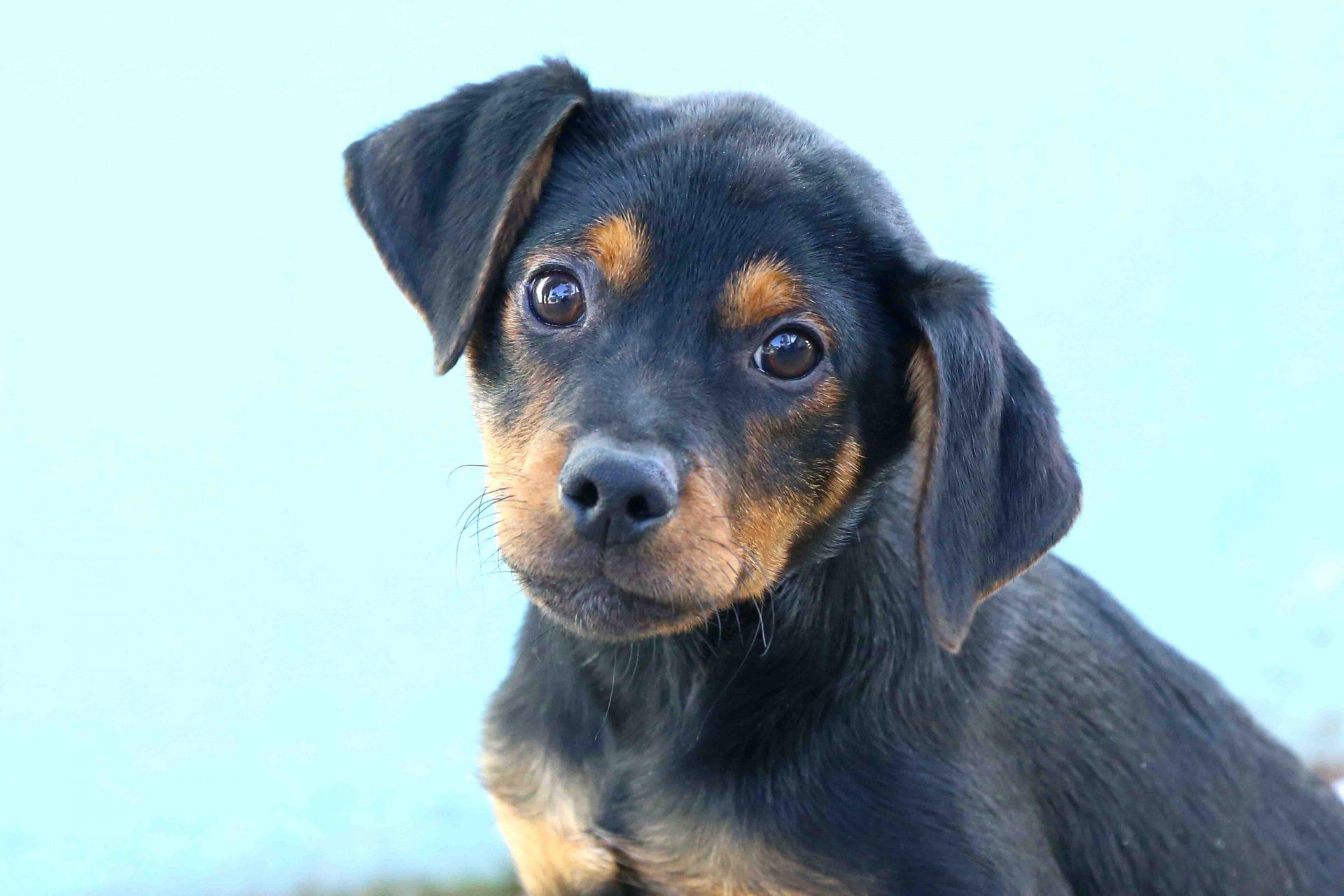 קירו כלב לאימוץ אגודת צער בעלי חיים בישראל