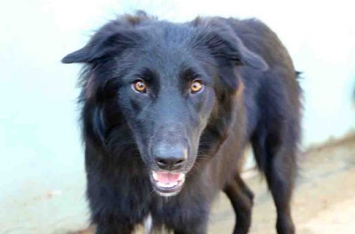 מיקו כלב לאימוץ אגודת צער בעלי חיים בישראל