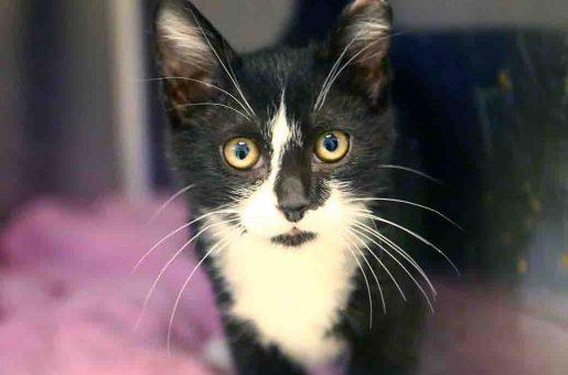 שוקה חתול לאימץ אגודת צער בעלי חיים בישראל