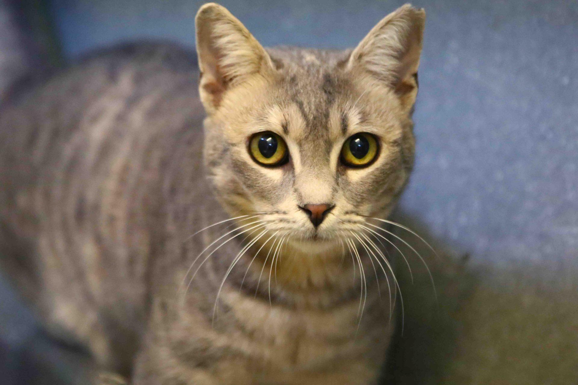 שומשום חתולה לאימוץ אגודת צער בעלי חיים בישראל