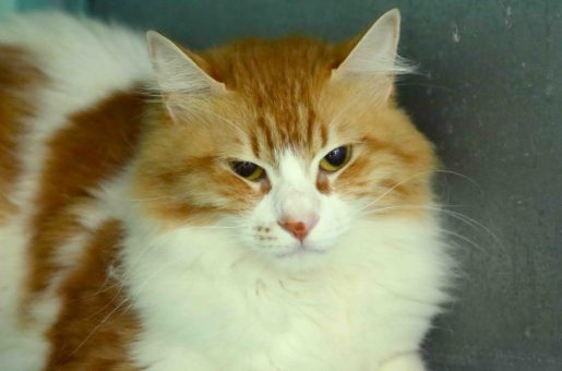 גרציה חתולה לאימוץ אגודת צער בעלי חיים בישראל