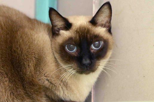נושי חתולה לאימוץ אגודת צער בעלי חיים בישראל