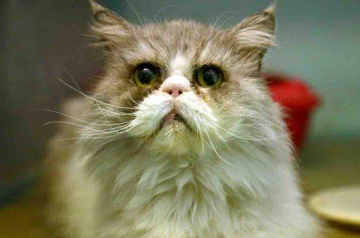לוקאס חתול לאימוץ אגודת צער בעלי חיים בישראל