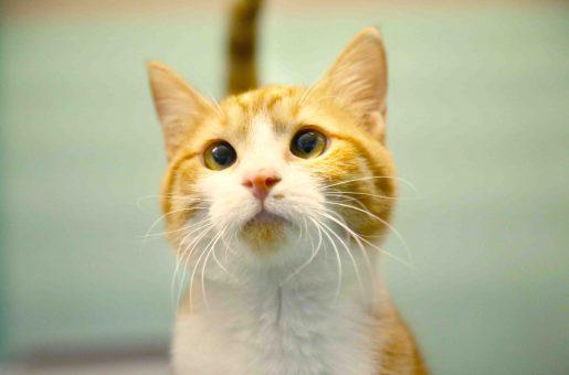 אלכסה חתולה לאימוץ אגודת צער בעלי חיים בישראל