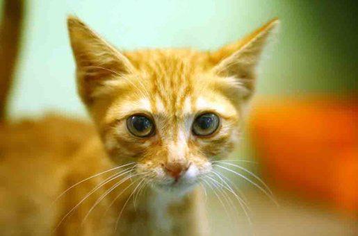 ראדה חתולה לאימוץ אגודת צער בעלי חיים בישראל