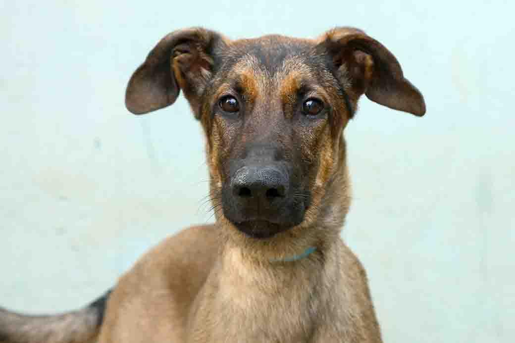 דינגו כלב לאימוץ אגודת צער בעלי חיים בישראל