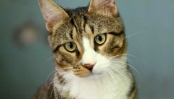 צ'וצ'ה - חתולה לאימוץ - אגודת צער בעלי חיים בישראל
