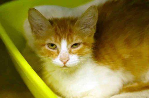 לייקה חתולה לאימוץ אגודת צער בעלי חיים בישראל