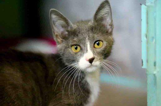 פלורנס חתולה לאימוץ אגודת צער בעלי חיים בישראל