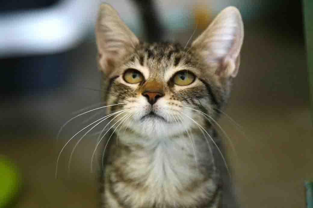 מיציש חתולה לאימוץ אגודת צער בעלי חיים בישראל