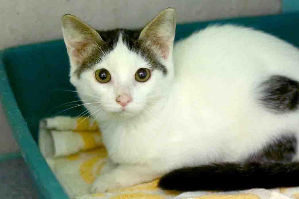 סוניק חתול לאימוץ אגודת צער בעלי חיים בישראל