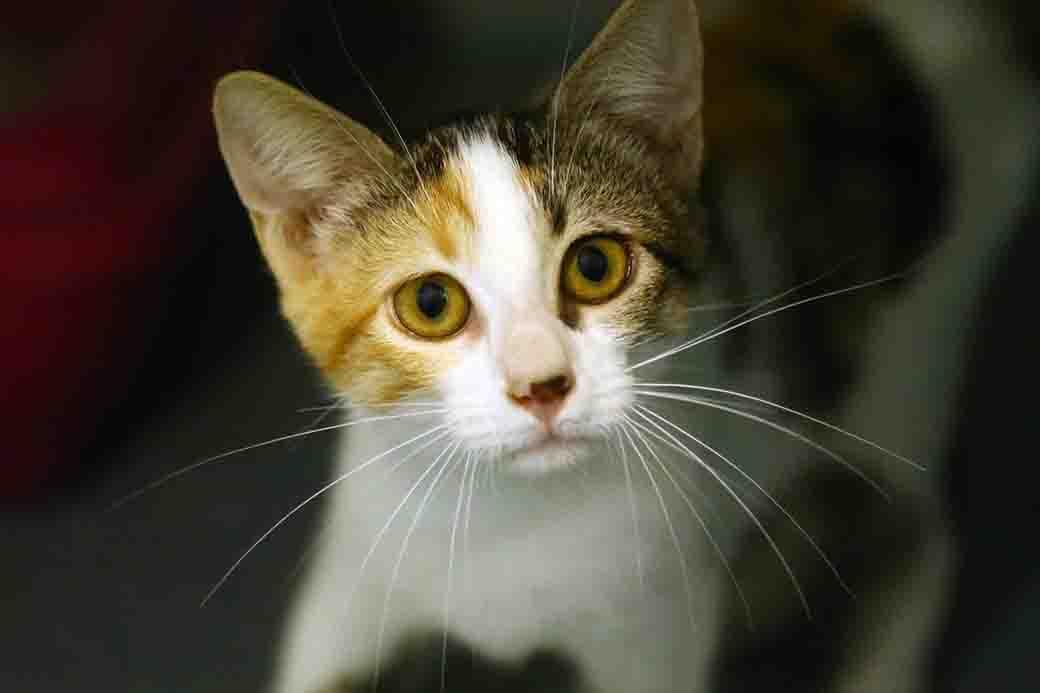 סוניה חתולה לאימוץ אגודת צער בעלי חיים בישראל
