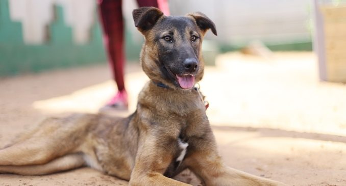 עמנואל - כלבה לאימוץ - אגודת צער בעלי חיים בישראל