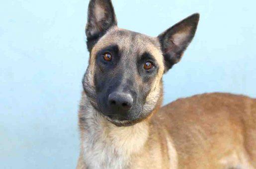 צ'ילו כלב לאימוץ אגודת צער בעלי חיים בישראל