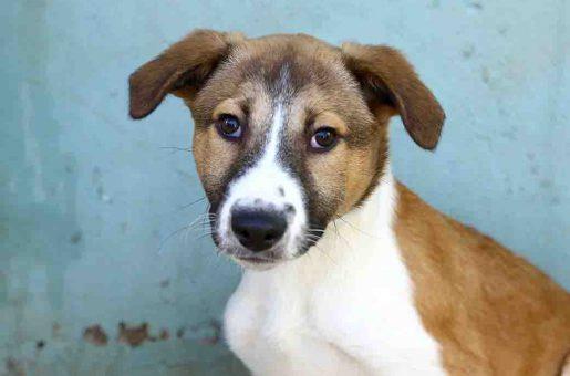 טוליפ כלב לאימוץ אגודת צער בעלי חיים בישראל