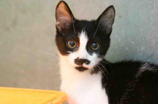 פוני חתולה לאימוץ אגודת צער בעלי חיים בישראל